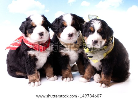 Bernese Mountain Dog. Beautiful Puppies.