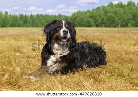 Bernese Mountain Dog (Berner Sennenhund) lying in the middle of a green lawn on a sunny summer day - stock photo