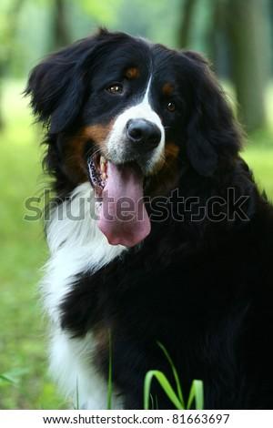 Bernese mountain dog (Berner Sennenhund) on nature - stock photo