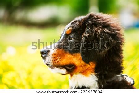 Bernese Mountain Dog (Berner Sennenhund) Puppy Sitting In Green Grass Outdoor - stock photo