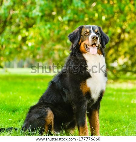 Bernese mountain dog (Berner Sennenhund) sitting in park - stock photo
