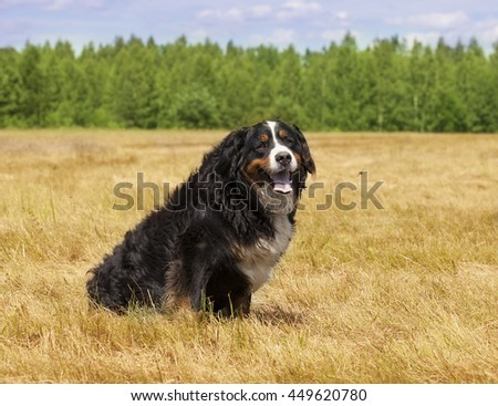 Bernese Mountain Dog (Berner Sennenhund) sitting in the middle of a green lawn on a sunny summer day - stock photo