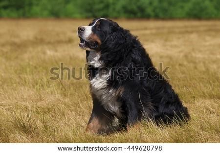 Bernese Mountain Dog (Berner Sennenhund) sitting on the green field - stock photo