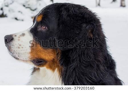 Bernese Mountain Dog, best friend and helper. - stock photo
