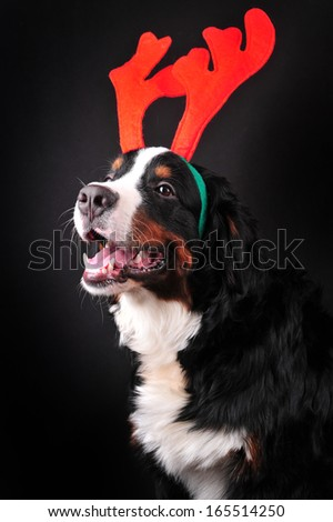 Bernese mountain dog dressed up in reindeer antlers. Christmas dog.Happy New Year Dog. - stock photo