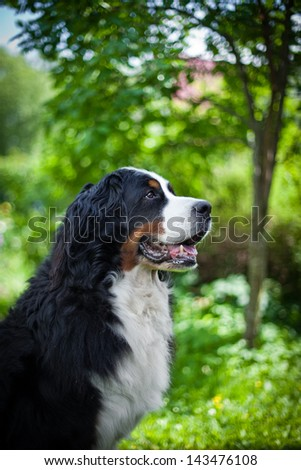 Bernese Mountain Dog in nature