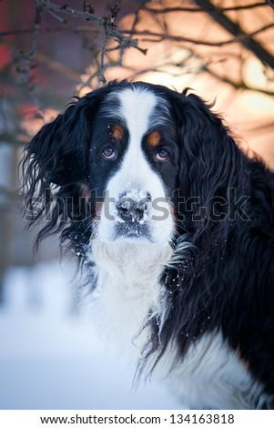 Bernese Mountain Dog in winter In Nature - stock photo