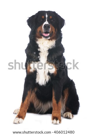 Bernese mountain dog isolated on white sitting from the front - stock photo
