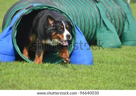 Bernese Mountain Dog Leaving Tunnel at a Dog Agility Trial - stock photo