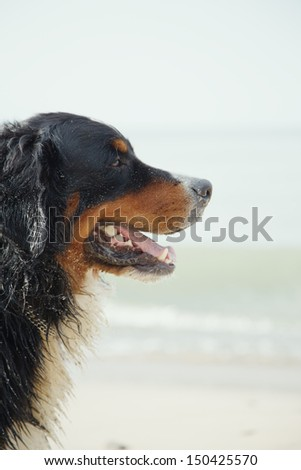 bernese mountain dog looks aside close up near sea - stock photo