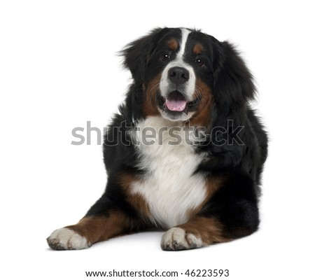 Bernese mountain dog, 7 months old, sitting in front of white background