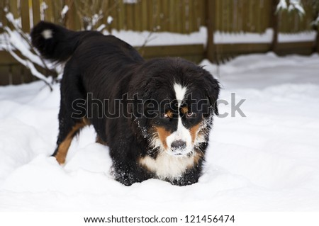 Bernese mountain dog puppet mother stucked at snow - stock photo