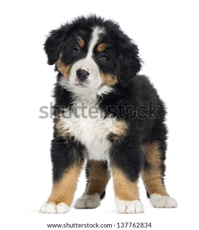 Bernese Mountain Dog Puppy, 2 months old, standing, isolated on white - stock photo