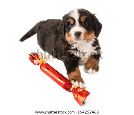 Bernese mountain dog puppy playing with a christmas gift