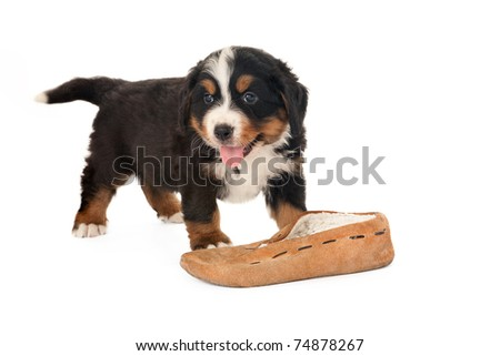 Bernese mountain dog puppy playing with a slipper - stock photo