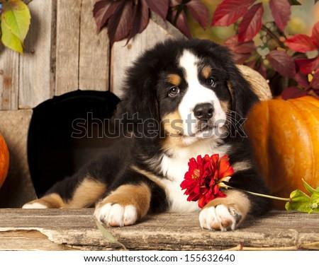 Bernese Mountain Dog puppy portrait - stock photo