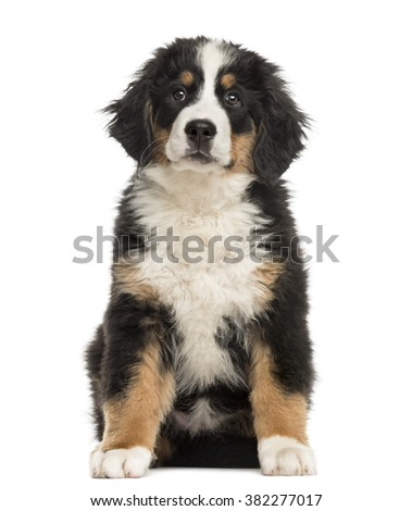 Bernese Mountain Dog puppy sitting in front of a white background