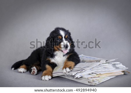 Bernese Mountain Dog puppy with newspaper  portrait