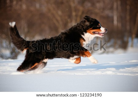 bernese mountain dog running and jumping - stock photo
