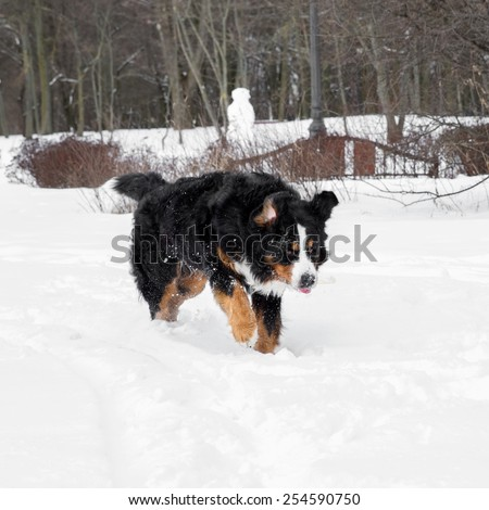 Bernese Mountain Dog runs in snow.  - stock photo