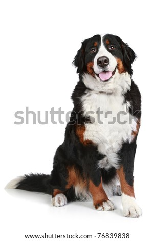 Bernese mountain dog sits on white background - stock photo