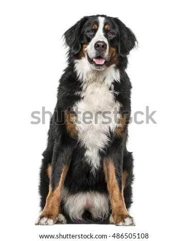 Bernese Mountain Dog sitting and panting, 2 years old, isolated on white