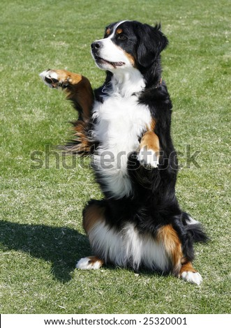 bernese mountain dog sitting up