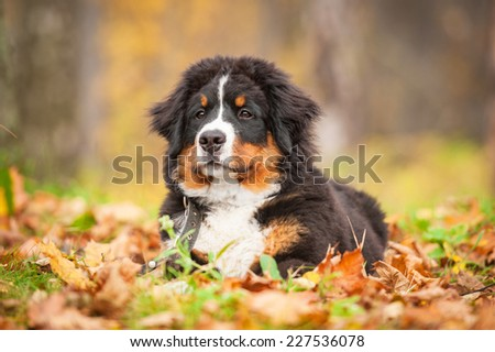 Bernese mountain puppy lying on the leaves in autumn - stock photo