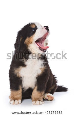 Bernese Mountain puppy on white