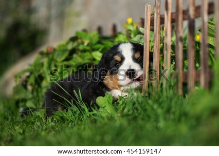 bernese mountain puppy outdoors