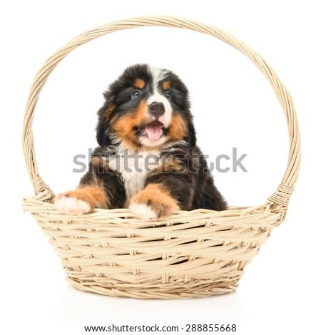 Bernese sennenhund puppy in a basket on a white background - stock photo