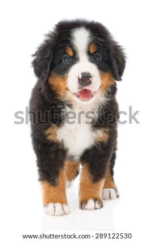 Bernese sennenhund puppy on a white background - stock photo