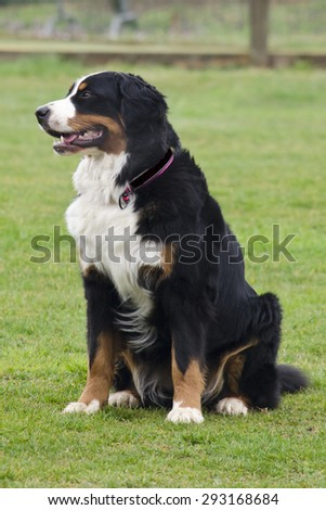 Bernese Shepherd