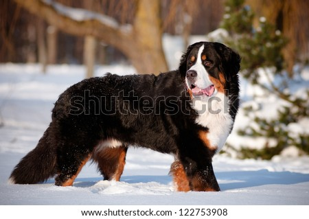 bernse mountain dog portrait in winter - stock photo