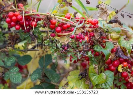 berries in hedgerow  - stock photo