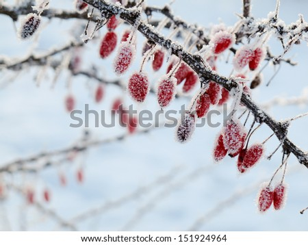 Berries on a rose covered with hoarfrost - stock photo