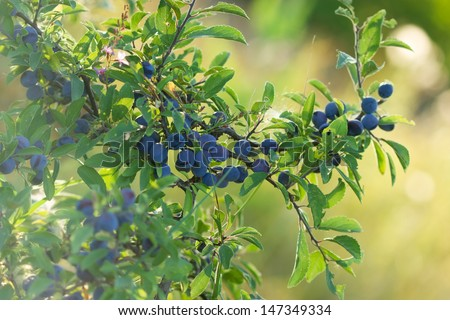 Berry fruit (forest fruit - branch with sloe)  - stock photo