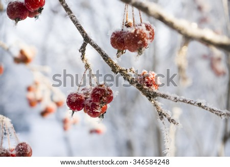 berry in winter
