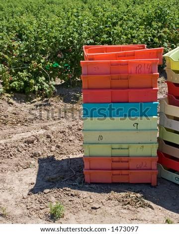 Berry Pick - stock photo