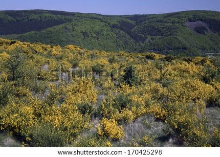 Besenginster, Dreiborner Hochflaeche, Cytisus scoparius, Common Broom, Germany - stock photo