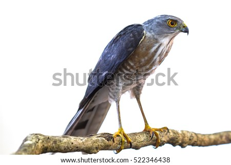 Besra or Little Sparrow Hawks  (Accipiter virgatus) Standing on branch