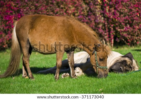 Best frends. Giant dog and little horse - stock photo