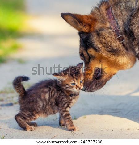 Best friends. Little kitten rubbing against bid dog outdoors - stock photo