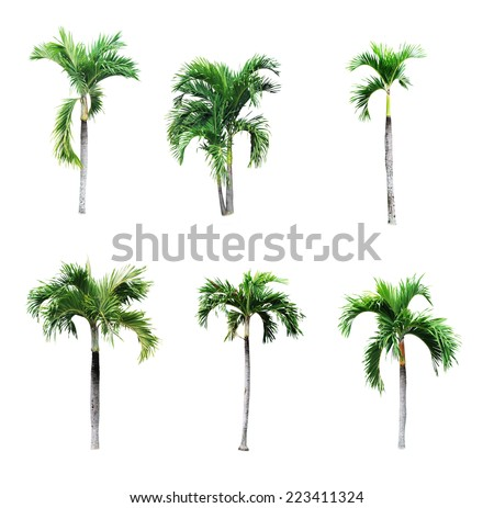 Betel palm tree isolated on white.  - stock photo