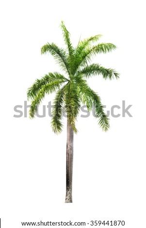 Betel palm tree isolated on white.  - stock photo