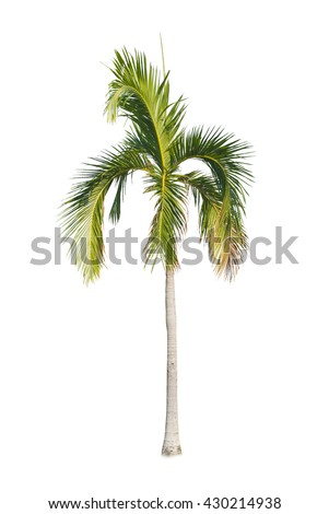 Betel palm tree isolated on white background