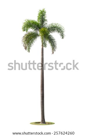 betel palm trees isolated on white background - stock photo