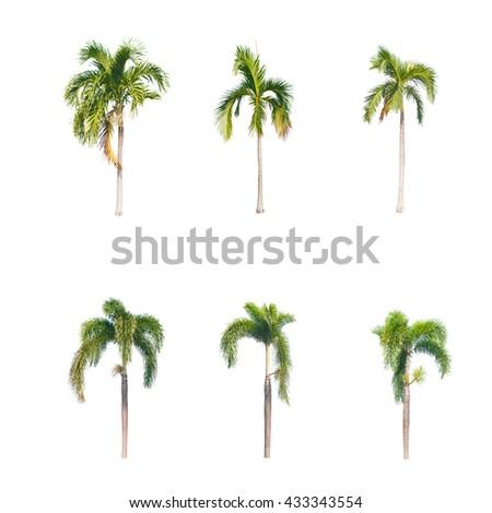 Betel palm trees isolated on white background - stock photo