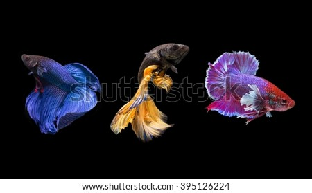Betta fish are swimming gracefully on isolate - stock photo