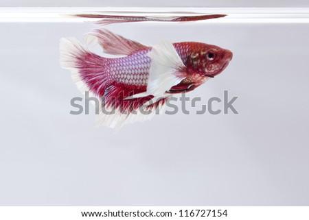 Betta fish big fin - stock photo